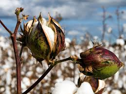 Thorny Cotton